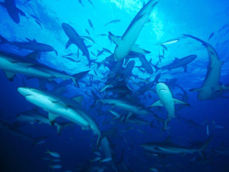 pesquisadores estão entusiasmados e confusos ao relatar que um grupo incomumente grande tubarões brancos estão se reunindo misteriosamente em um ponto do Oceano Atlântico