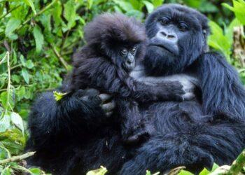 Um único raio matou quatro gorilas da montanha no Parque Nacional do Gorila Mgahinga de Uganda, no continente africano.