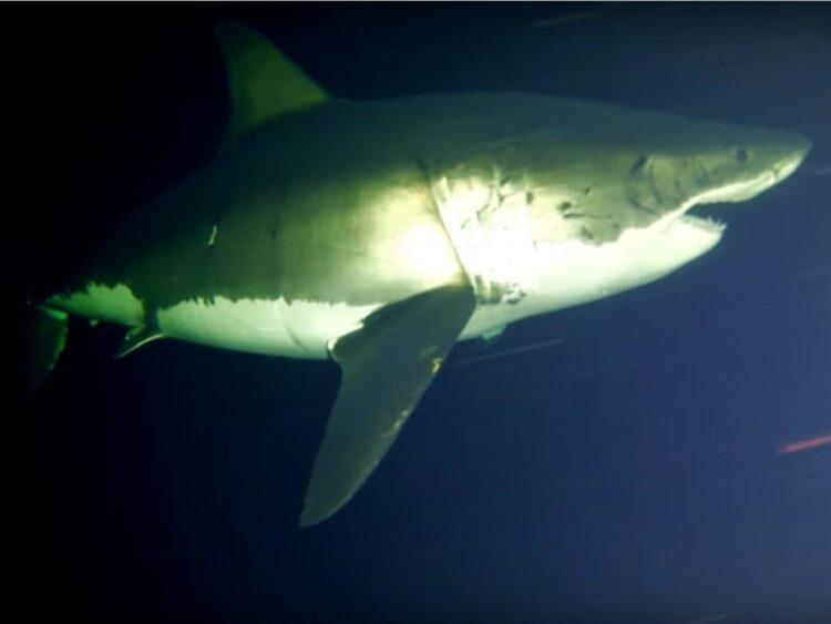 O grande tubarão branco dormindo. (Imagem: Discovery Channel)