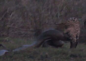 O vídeo mostra o momento do ataque da onça-pintada à anaconda. (Reprodução/Terra da Gente)