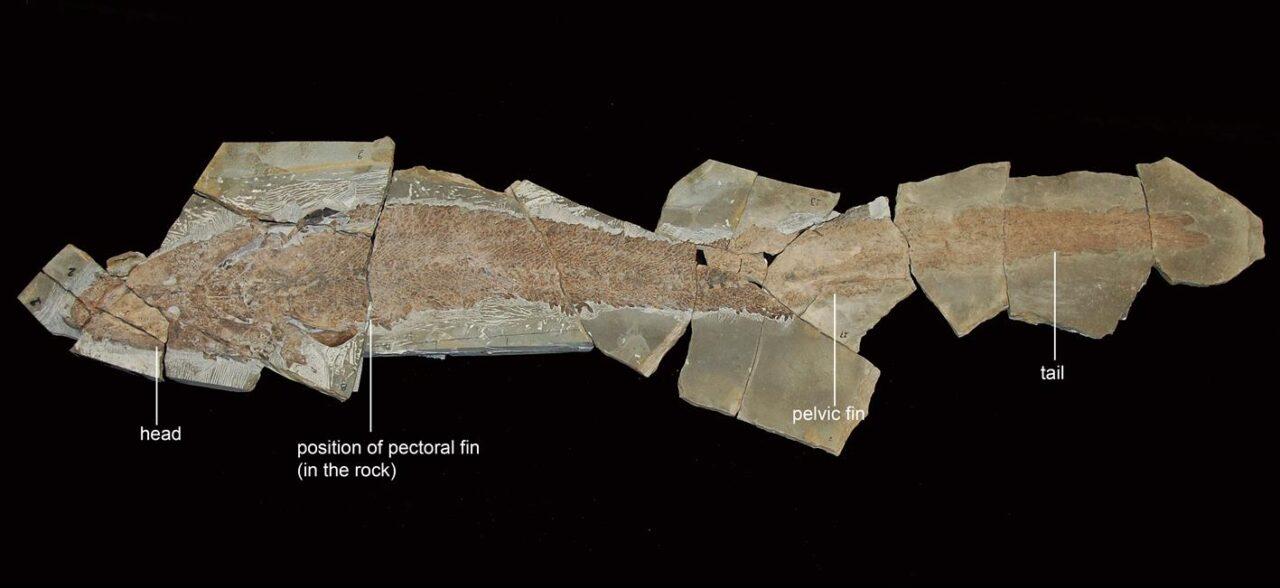Nosso novo espécime de Elpistostege watsoni mede 1,57 metros de comprimento, do focinho até a ponta da cauda. (Imagem: Richard Cloutier, UQAR)