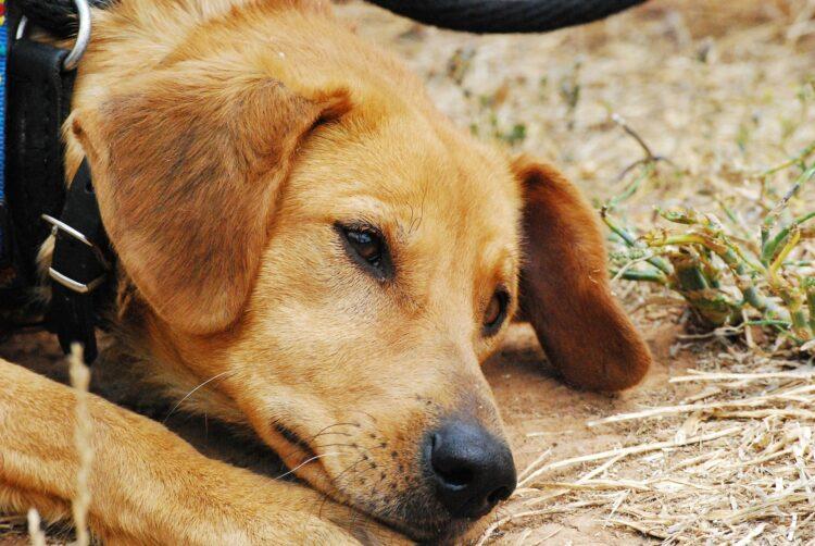 Estudo amplo mostra que 70% dos cães estão deprimidos ou ansiosos. (Imagem: Pixabay)