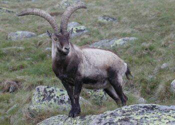 Um Ibex ibéric, um parente próximo do ìbex dos Pirinéus, o único animal extinto a ser ressuscitado pela ciência. (Imagem: Juan Lacruz - Own work, CC BY-SA 3.0)
