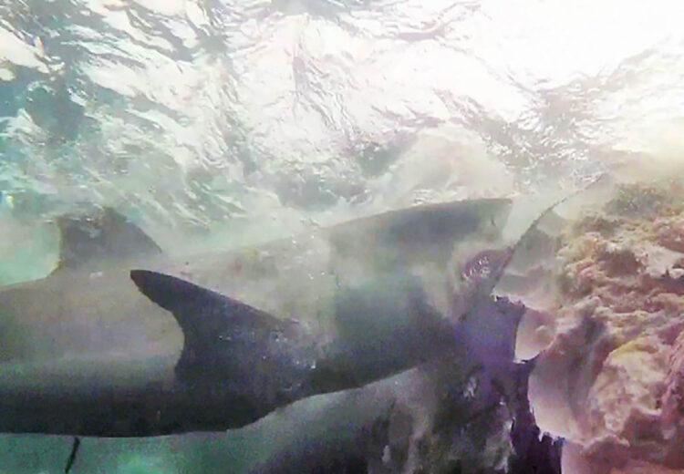 Pela primeira vez cientistas flagraram tubarões brancos atacando uma baleia jubarte viva. (Imagem: Marine & Freshwater Research)