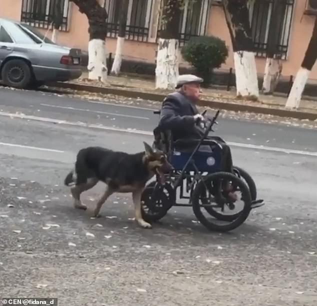 Um cachorro, da raça pastor alemão, foi flagrado usando a cabeça para empurrar a cadeira de rodas de seu amigo idoso de 70 anos pela cidade.