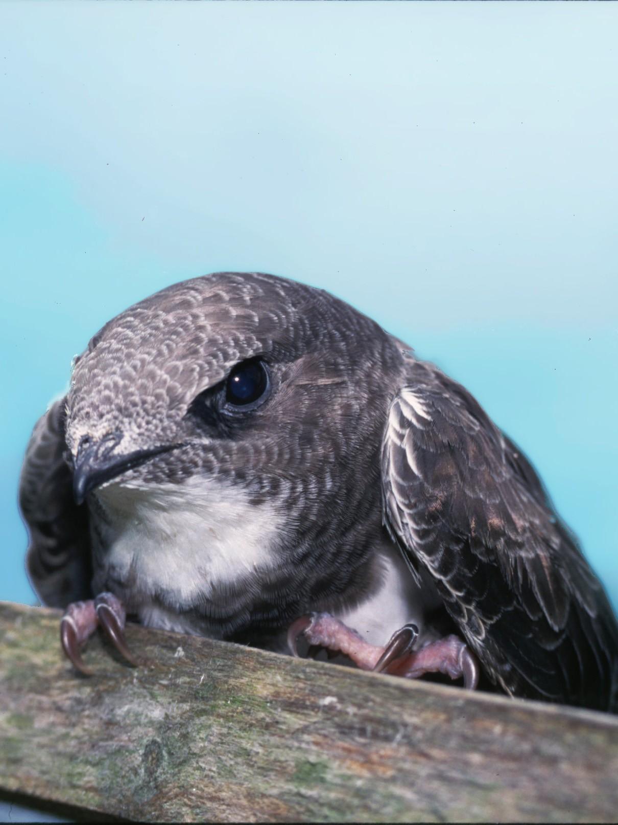 Um andorinhão-real (Tachymarptis melba), estes pássaros pode voar por seis meses sem parar. (Imagem: Domínio público)