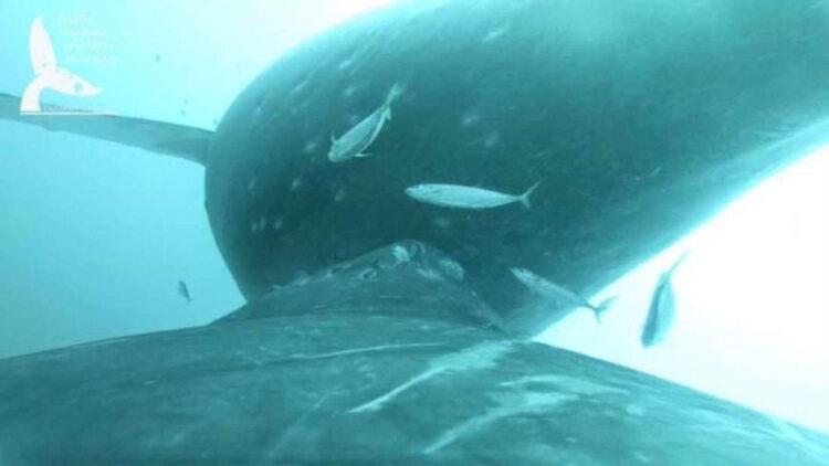Uma equipe de biólogos marinhos na costa do Havaí capturaram um vídeo raro de uma baleia jubarte amamentando filhote. (Licença NOAA 21476) Programa de Pesquisa em Mamíferos Marinhos UH Mānoa)