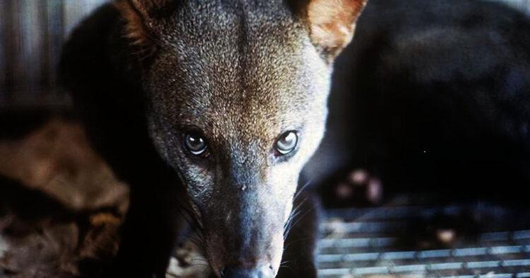 Cão selvagem da Amazônia é um animal quase desconhecido