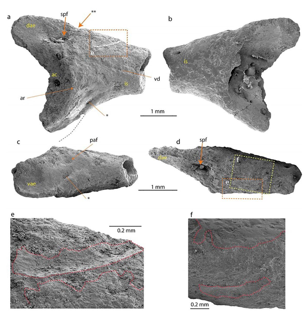Crânio fossilizado de um sapo encontrado na Antártica. (Imagem: Thomas Mörs)
