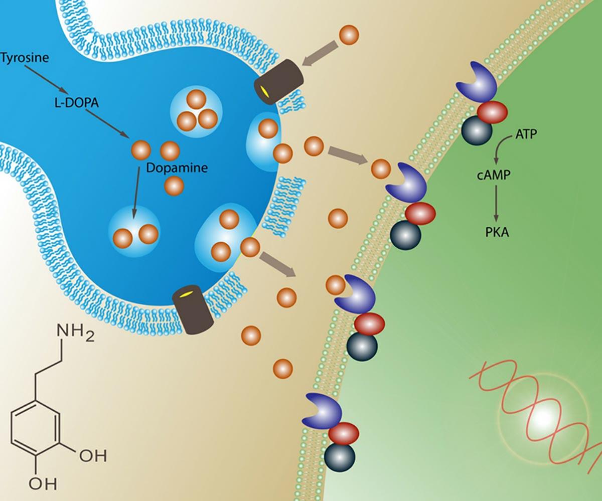 A inflamação crônica reduzir a dopamina no cérebro removendo a motivação. (Imagem: 71648629 via shutterstock.com)