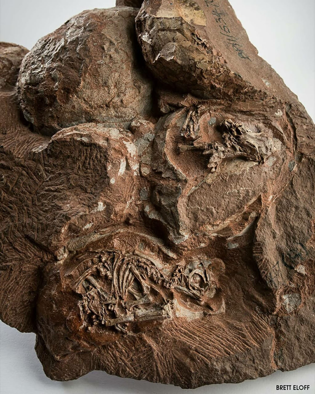 O ninho de dinossauros fossilizado  revela um nível sem precedentes de detalhes nos crânios dos embriões. (Crédito: Brett Eloff)