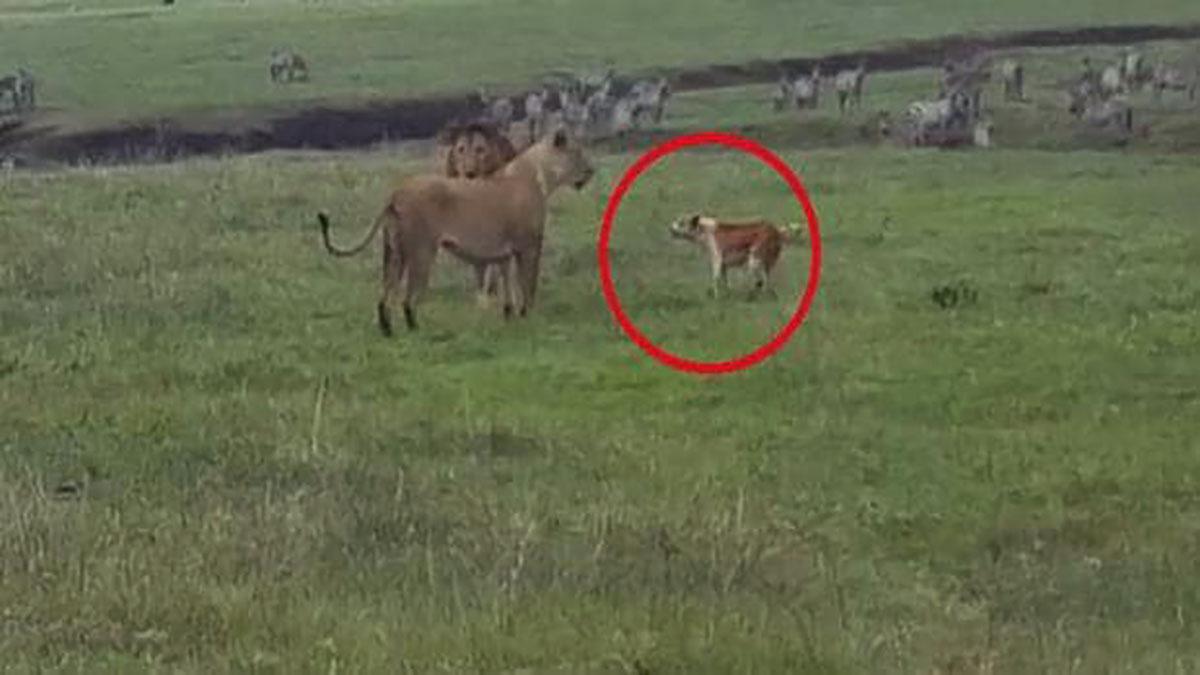 cachorro ataca e intimida leões