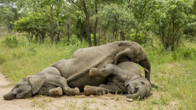 Elefantes bêbados