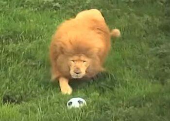 Leão entediado surpreende a todos jogando futebol
