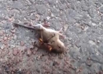 Vespa assassina mata rato em apenas alguns segundos. (Imagem: Captura de tela / YouTube)