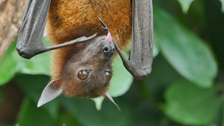 porque morcegos carregam tantos vírus