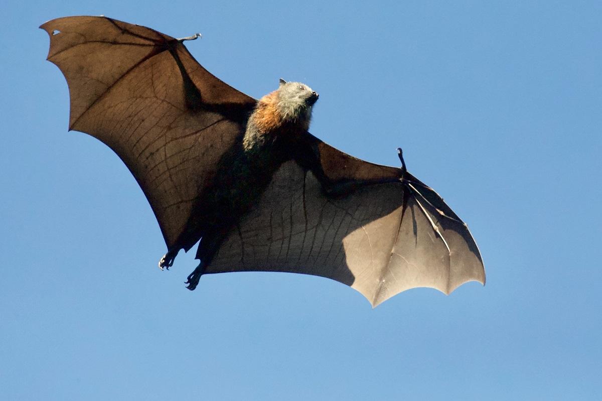 Morcego australiano