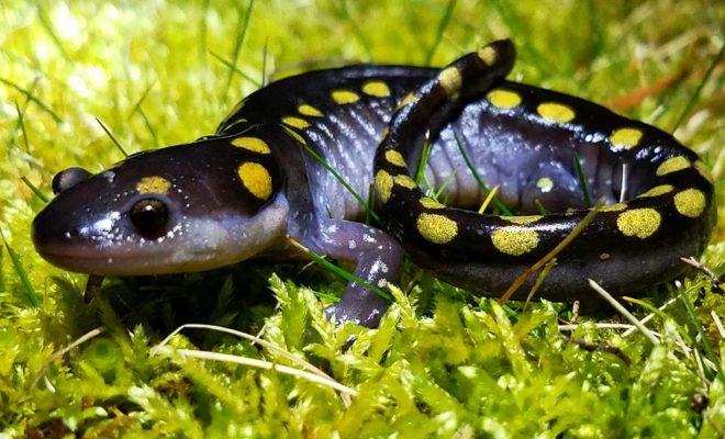 salamandra malhada
