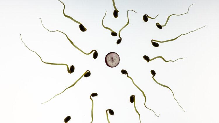 Óvulos humanos podem selecionar espermatozoides