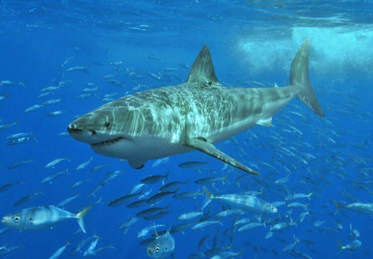 Tubarão Branco (Créditos da imagem: Terry Goss / Wikimédia Commons).