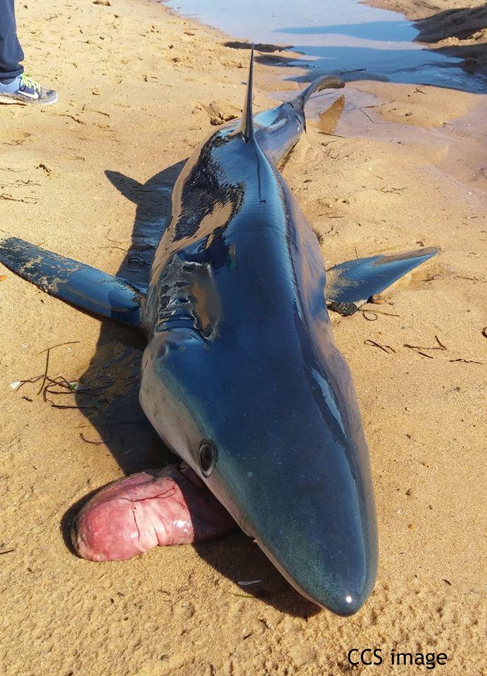 Quando tubarões estão estressados (por exemplo, ficam presos em uma rede de pesca), eles tentam se livrar do excesso de comida, mas, às vezes, esses tubarões vomitam seus estômagos.