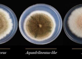 Encontrada pela primeira vez em ambiente hospitalar, espécie é mais resistente a medicamentos do que as duas que lhe dão origem e extremamente perigosa para pacientes com doenças respiratórias e sistema imune comprometido; grupo vai investigar papel de fungos em casos de Covid-19 (Créditos da imagem: Gustavo H. Goldman/USP)