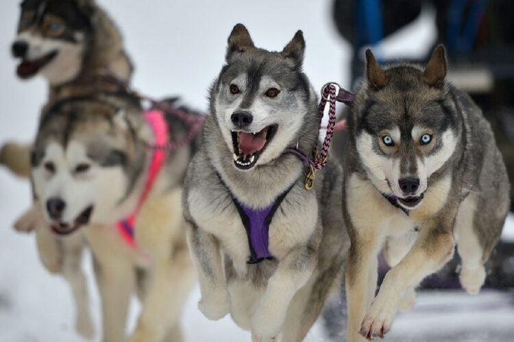Huskies siberianos puxam um trenó. (Imagem: Jeff J Mitchell/Getty Images)