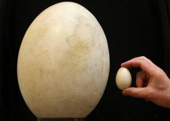 Um ovo de pássaro-elefante leiloado comparado com um ovo de galinha.