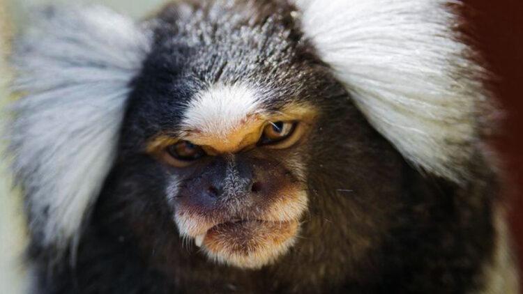 Macacos desenvolveram cérebros maiores graças a gene humanos
