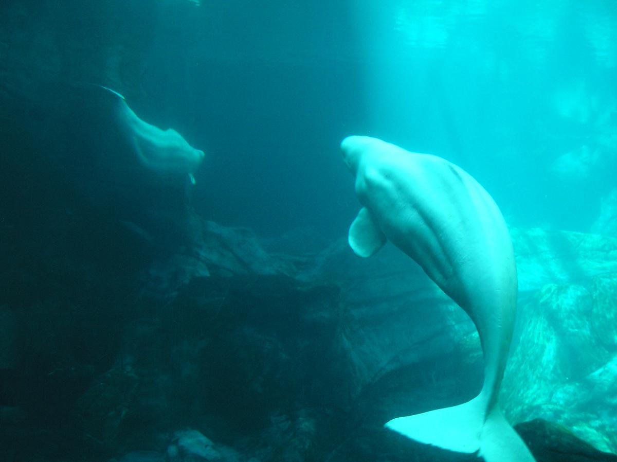 Belugas podem formar sociedades extremamente complexas