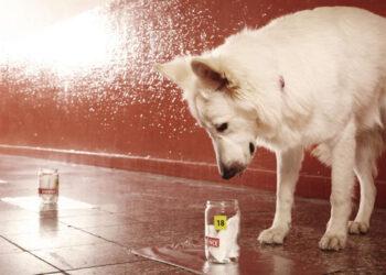 Cães podem farejar o novo coronavírus