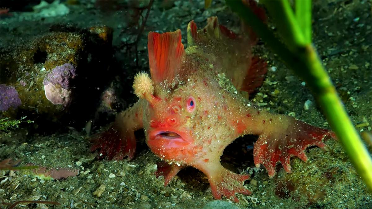 Este peixe estranho caminha no fundo do mar