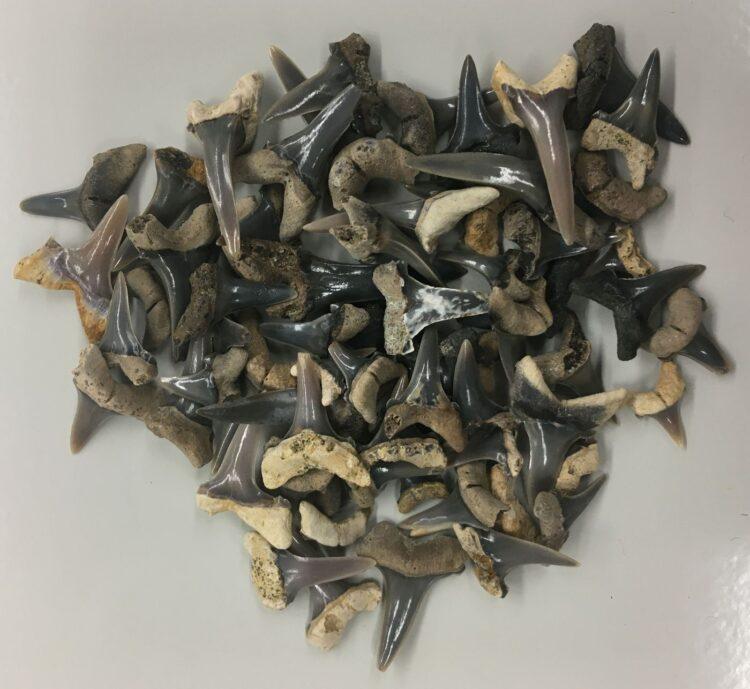 Dentes do Mennerotodus parmleyi. (Créditos da imagem:  McWane Science Center, Birmingham, AL).