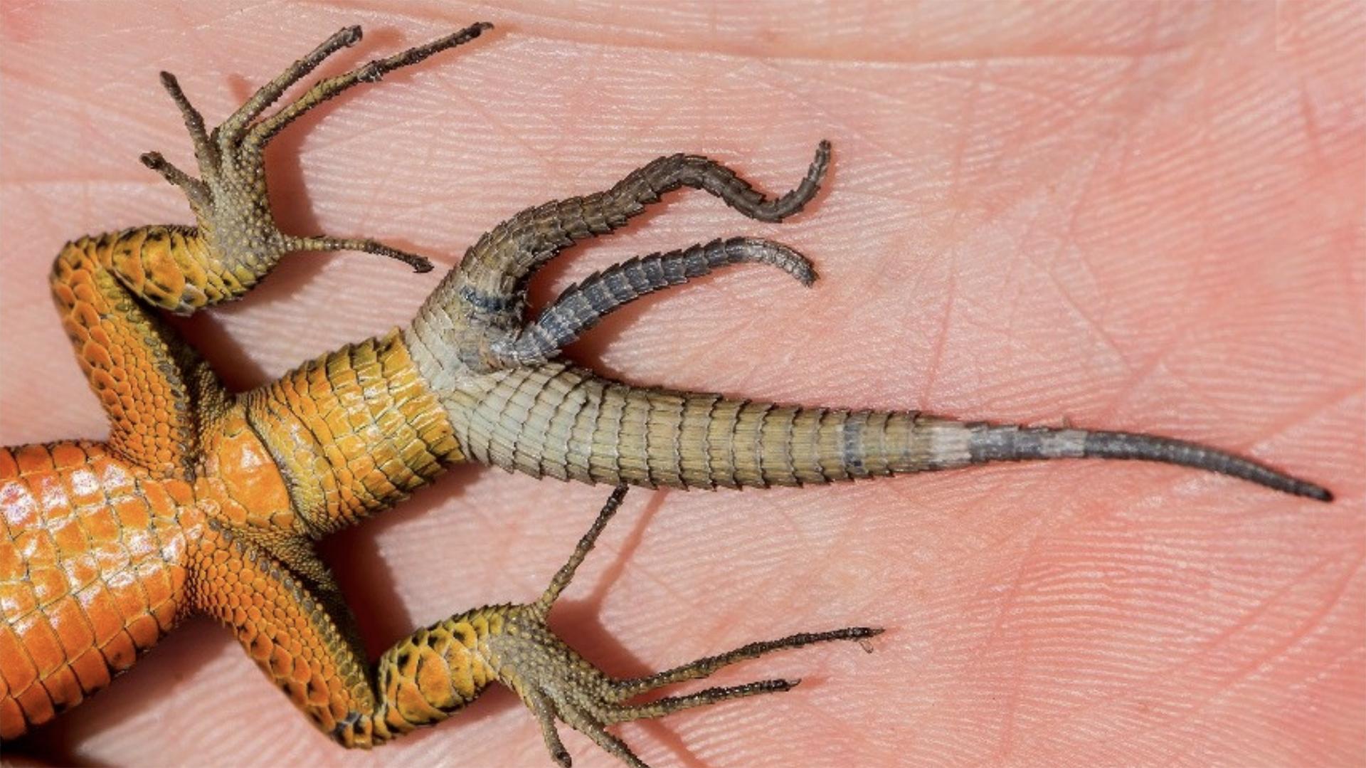 Lagartos podem regenerar múltiplas caudas