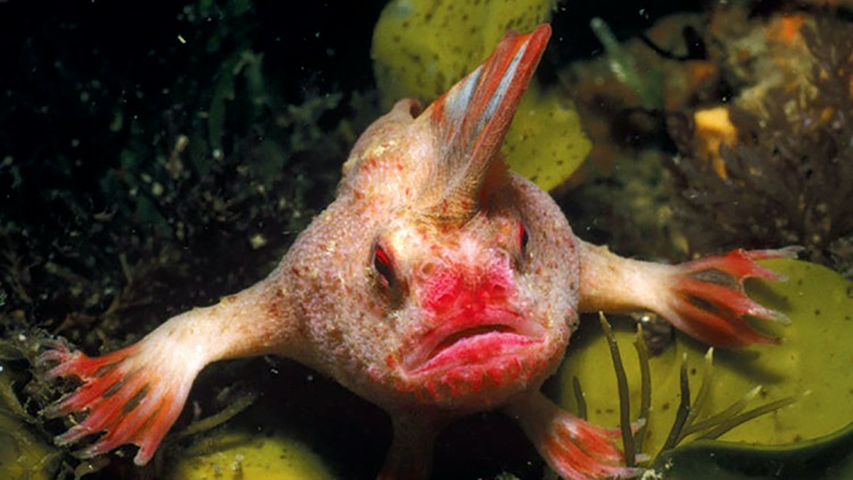 Peixe estranho (Sympterichthys unipennis)