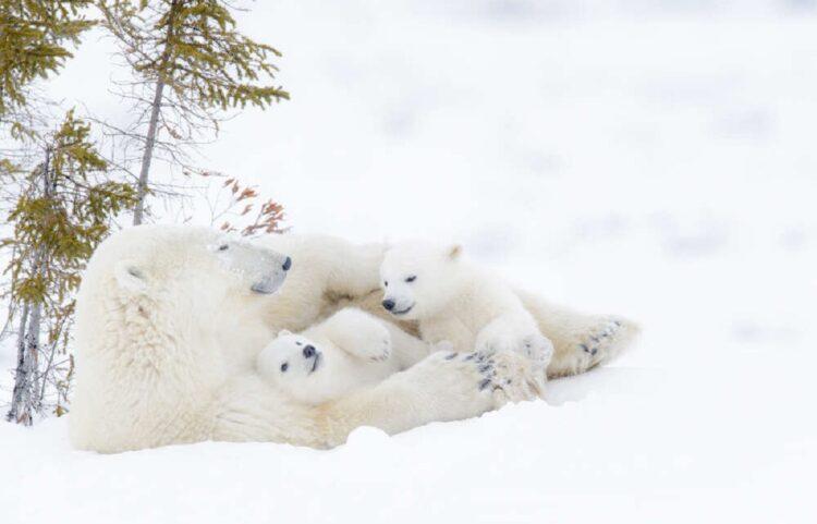 Ursos-polares-podem-entrar-em-extincao