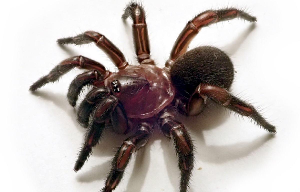 grupo de aranhas de alçapão 3