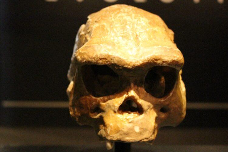 Um crânio de Homo erectus. (Créditos da imagem: Emőke Dénes / Wikimedia Commons)