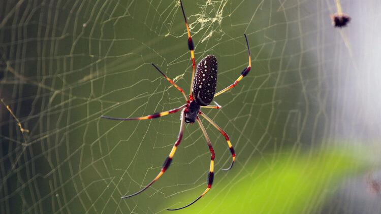 Pesquisador brasileiro mostra como estas aranhas podem produzir teias venenosas