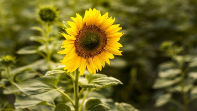 sementes de girassol ajudam a perder peso