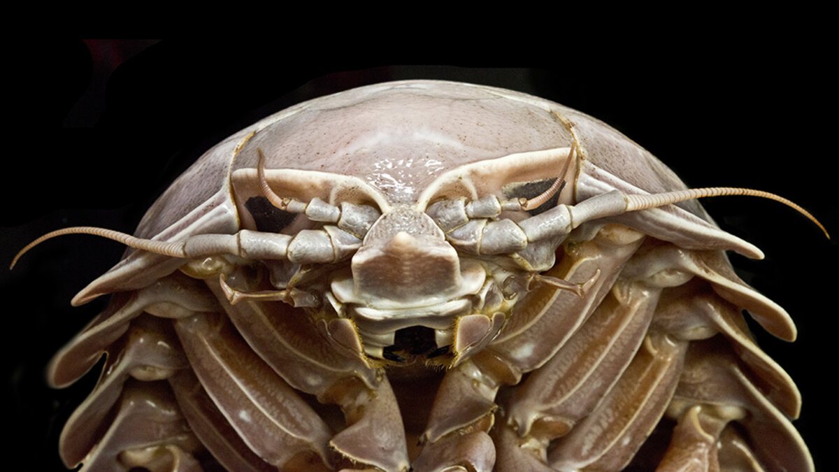 Nus News, https://news.nus.edu.sg/research/new-species-supergiant-isopod-uncovered