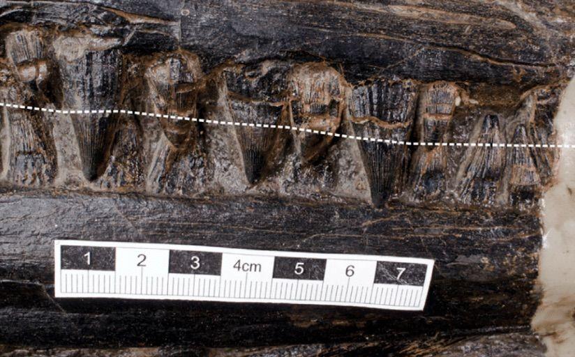 Dentes do ictiossauro