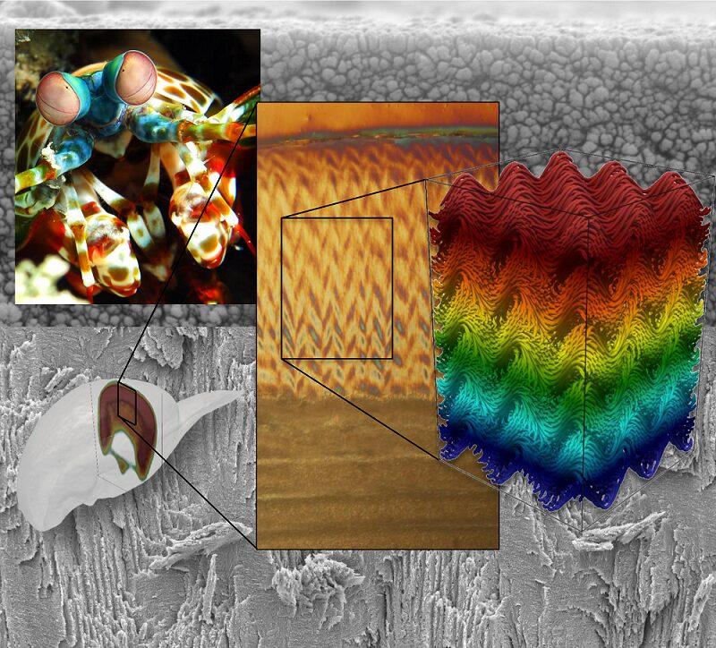 Phys Org, https://phys.org/news/2016-05-mantis-shrimp-ultra-strong-materials.html
