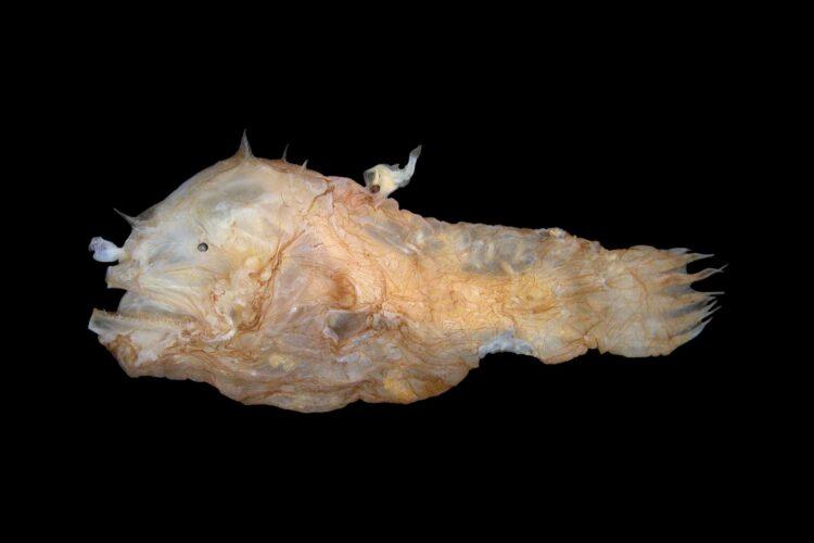 Uma fêmea tamboril Photocorynus spiniceps com um macho grudado em suas costas. (Créditos da imagem: Theodore W. Pietsch/University of Washington)