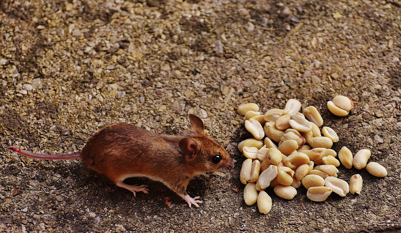 Ratos e as células gustativas.