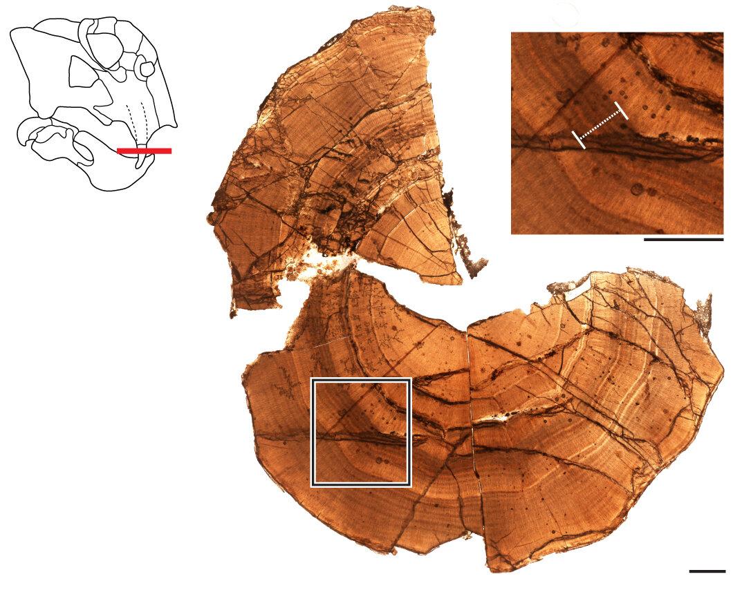 seção delgada da presa fossilizada