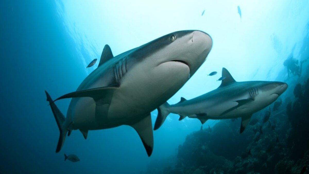 tubarões podem formar amizades complexas