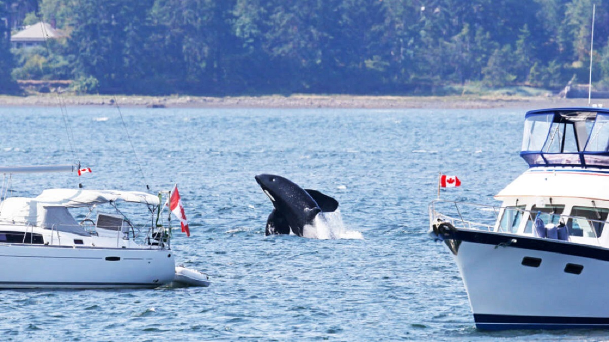 ataque-de-orcas