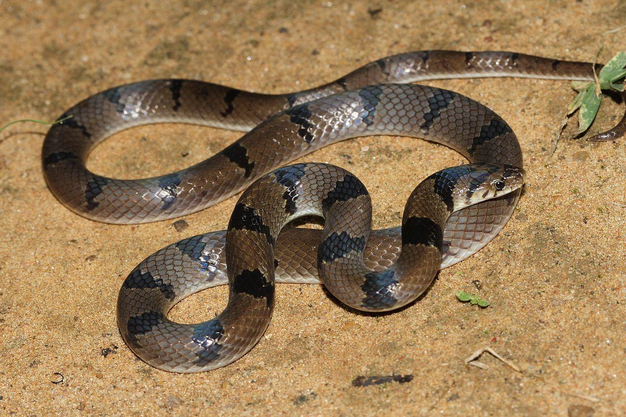 cobra kukri
