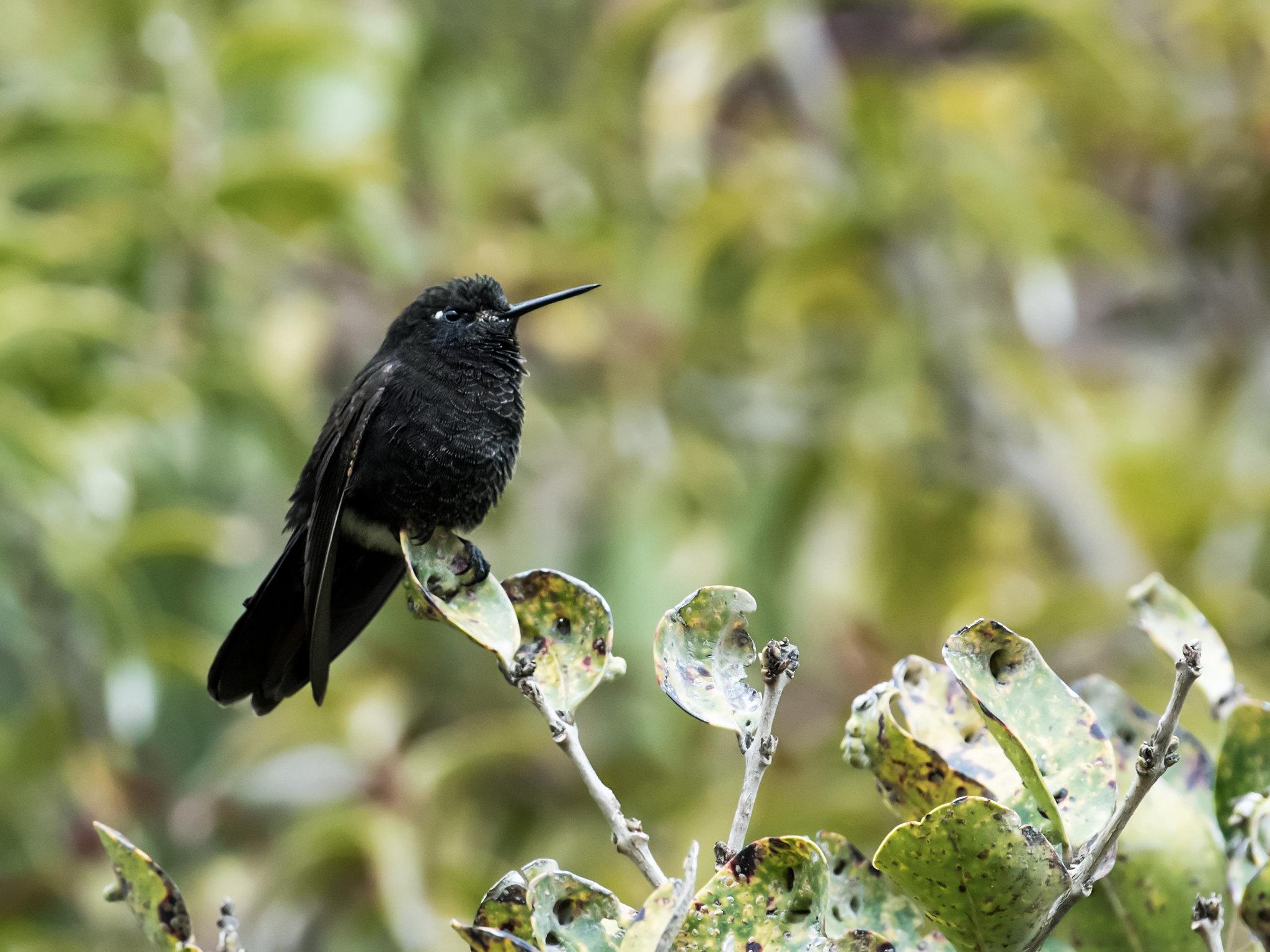 colibri preto